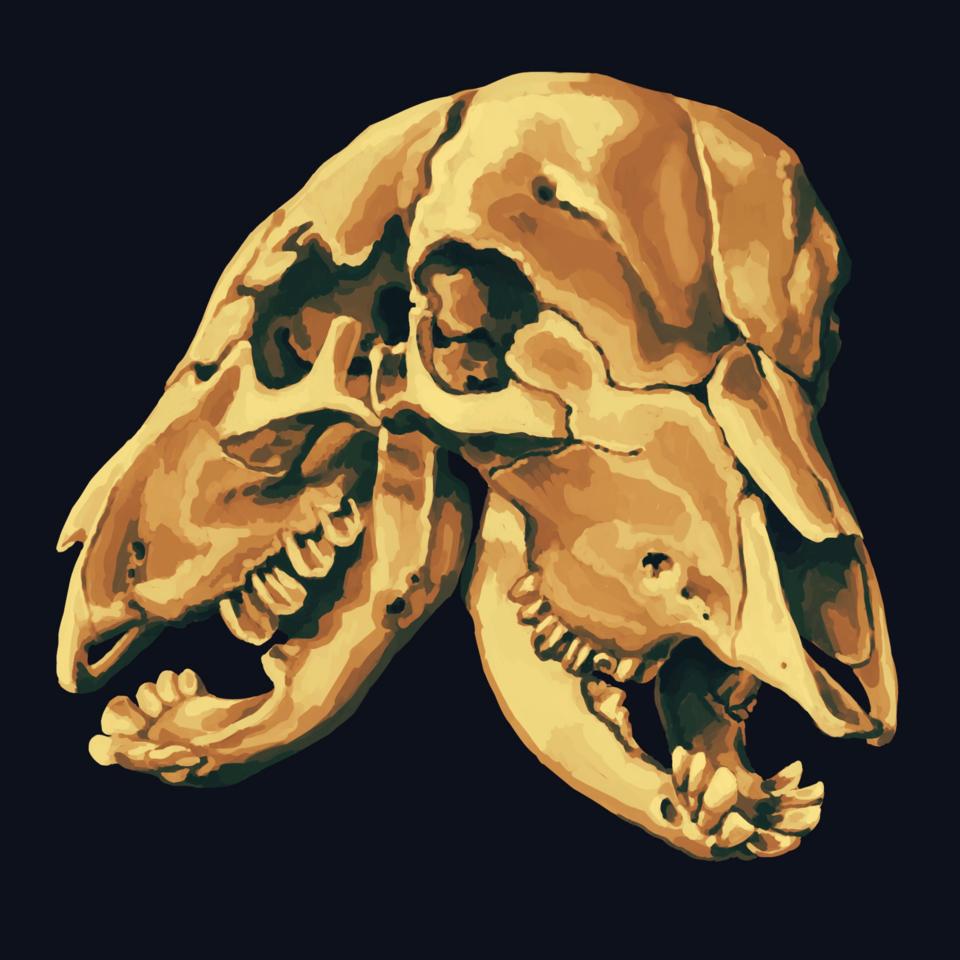 Two-Headed Calf Illust of CaputMortuum Skeleton skull
