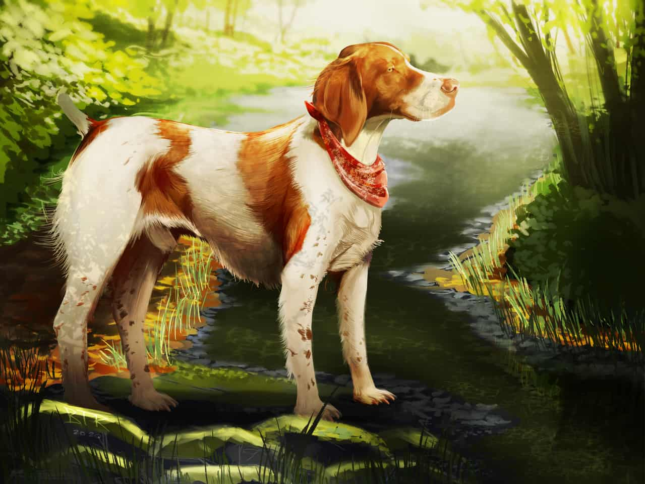 American Brittany Illustration