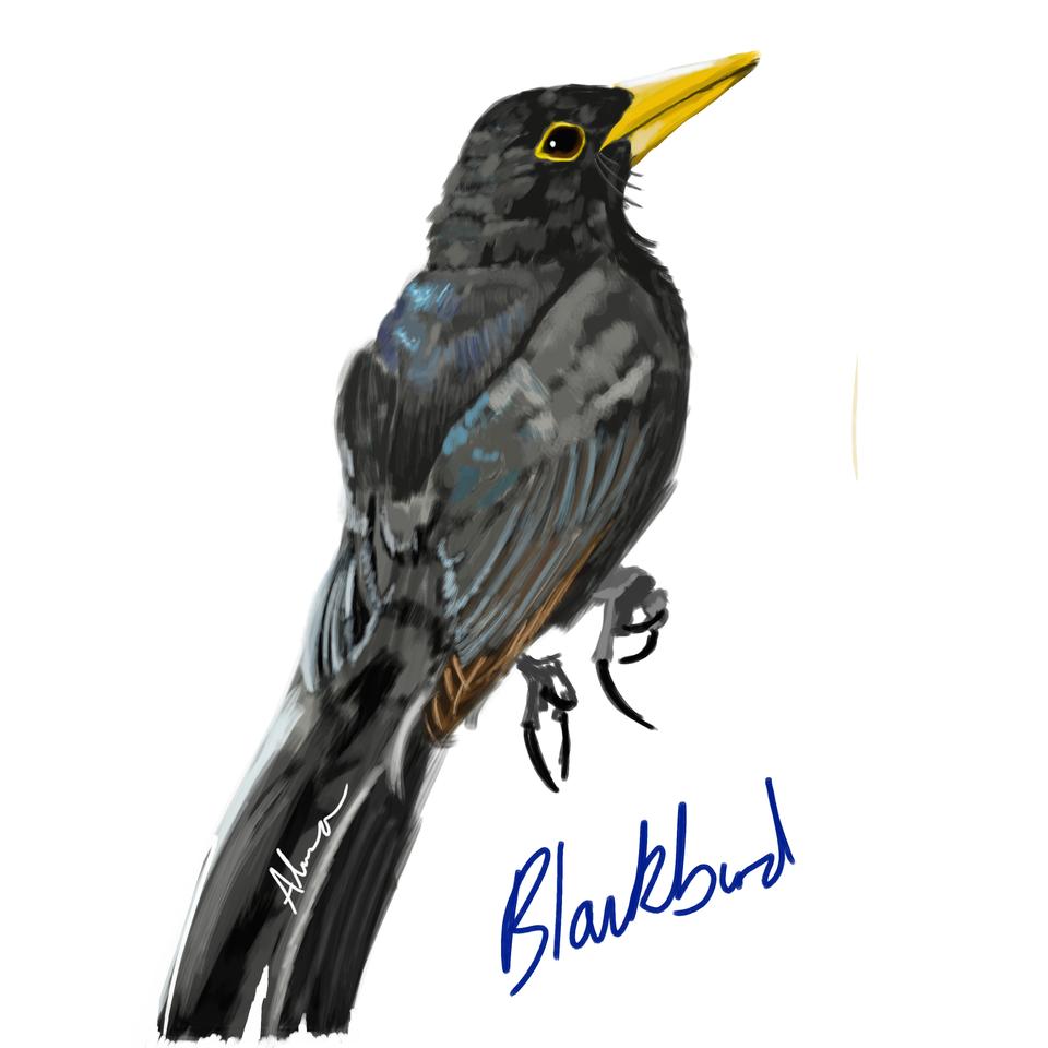 Blackbird (photo ref used)