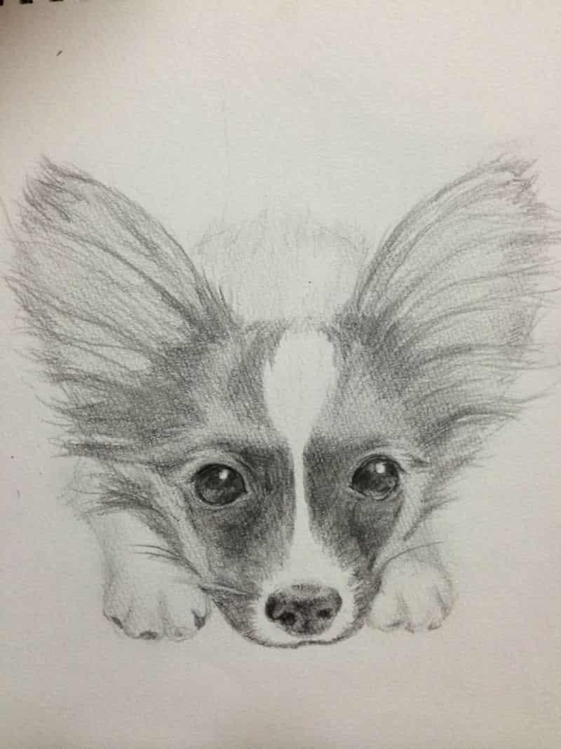 パピヨン Illust of なっちゃん パピヨン dog 鉛筆画